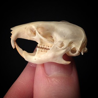 "BONELUST PERSONAL COLLECTION: A new rodent skull addition to my personal collection - Golden Hamster AKA Syrian Hamster, Mesocricetus auratus. It is approx 1.5"" long. ♥💀♥"