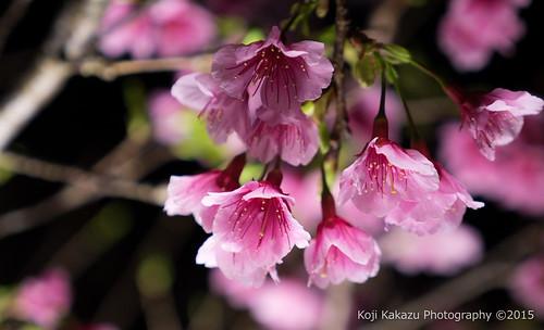 今帰仁グスク桜まつり | Okinawa #06