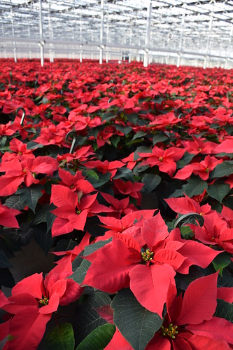 Poinsettias being grown in Grower Direct Farms just in time for the holidays. NRCS photo by Analia Bertucci.