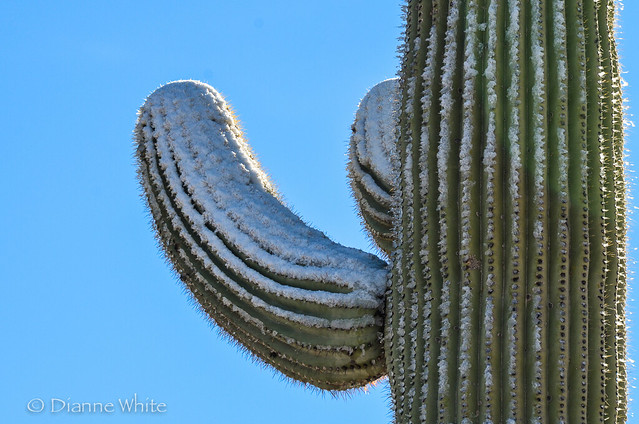 (#108) Frosted Saguaro