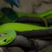 Small photo of Green mamba