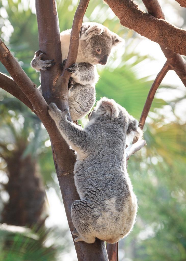 Koalas, San Diego Zoo