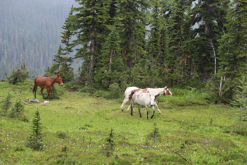 Belled Horses enjoying a walk home together on the PCT north of Tamarack Peak