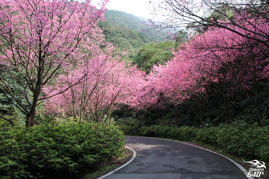 [三芝櫻浪太強] 青山路只有一個缺點,就是櫻花種太多,無奈時間有限拍不完