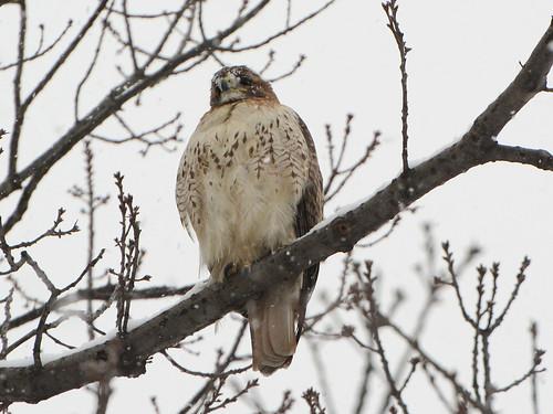 Snow Hawk - 6043
