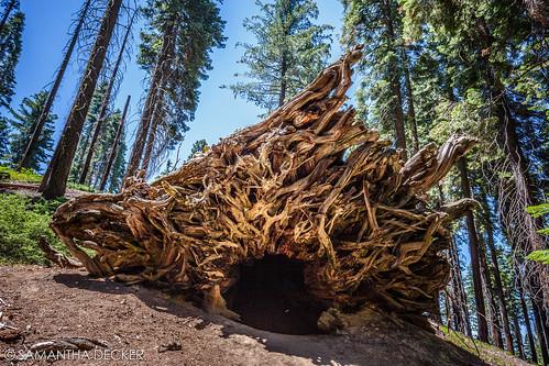 Fallen Giant Sequoia in the Mariposa Grove