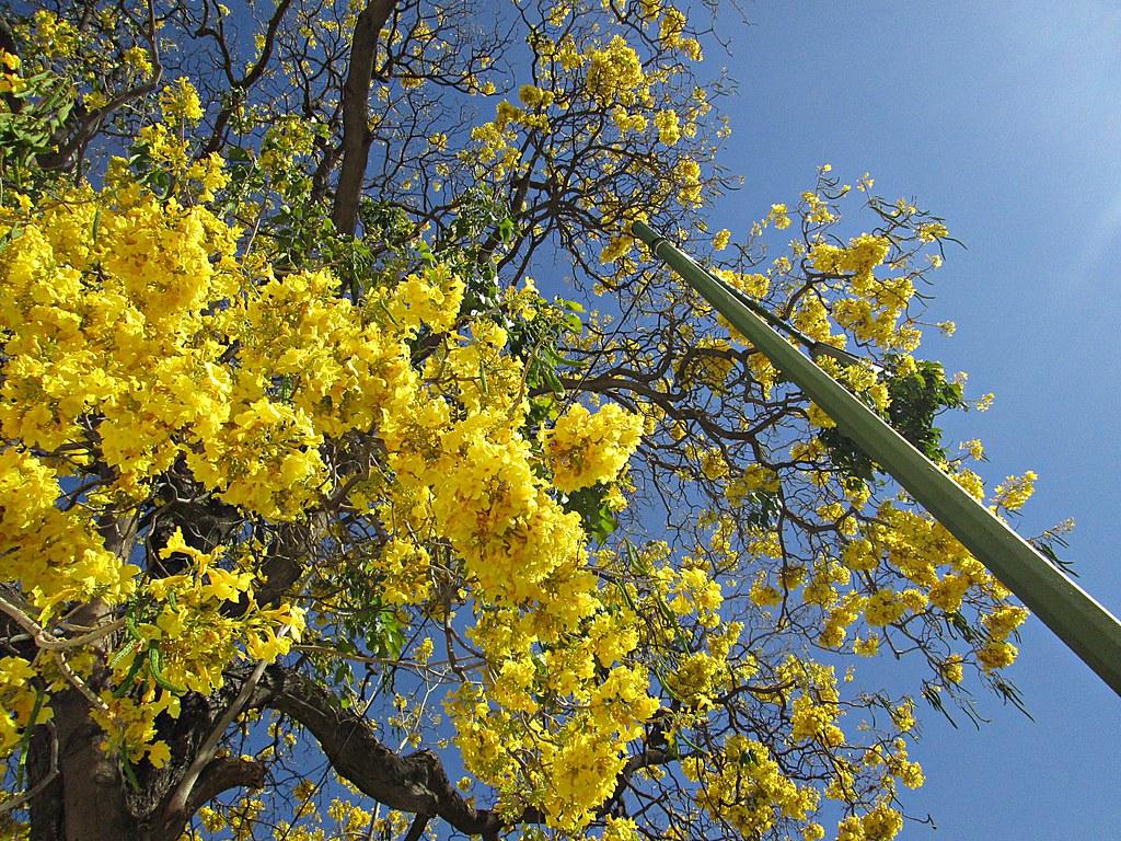 Las primaveras en flor de Av. La Paz