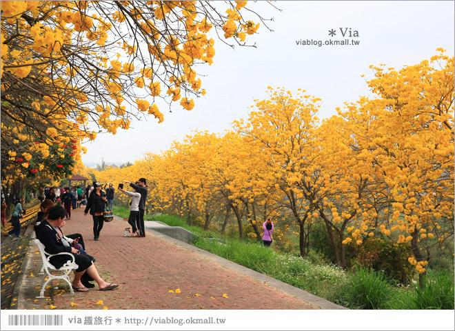 【嘉義景點】嘉義軍輝橋黃金風鈴木~全台最美的堤防!開滿滿的風鈴木美炸了!4