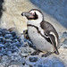 African Penguin at the San Diego Zoo
