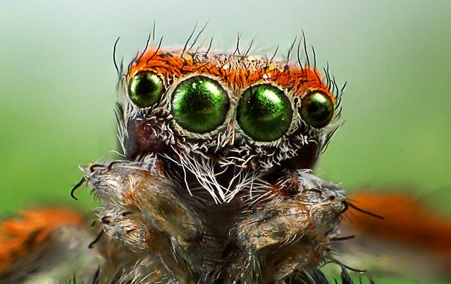 Face of a Saitis Barbipes Male