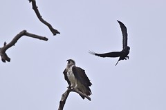Osprey  and Raven  on another  dull day