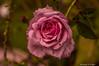 Pink Rose-2016-4.jpg