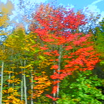 Fiery red and yellow color New England autumn fall foliage in Massachusetts USA