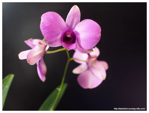 Orchid #04