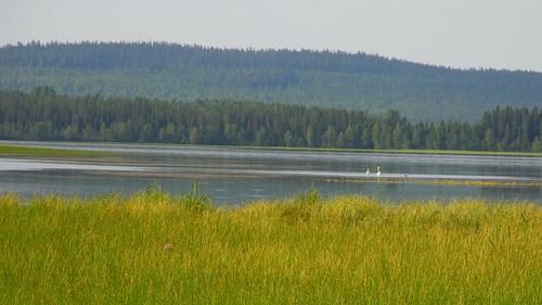 summer lake bird birds animal animals finland geotagged swan ks july kuusamo fin 2014 cygnus koillismaa 201407 kuusamojärvi kantokylä 20140715 geo:lat=6590414147 geo:lon=2942301750