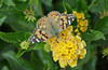 Painted Lady on Lantana, Explored 11.22.14, Thanks!
