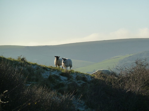 Sheep on South Downs Way (Berwick to Birling Gap)