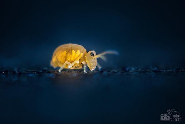 Mo, 2014-10-20 13:25 - a small globular springtail (~ 0,3 mm) Species?