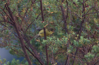 Mountain Yellow-warbler (Iduna similis), Nyika National Park, MW, 2014-09-23--103