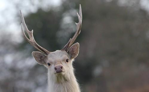 Sika Deer 030315 (27)