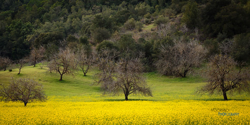 flowers trees field yellow spring oak alhambra bayarea mustard wildflowers martinez 2015 marvinsoriano