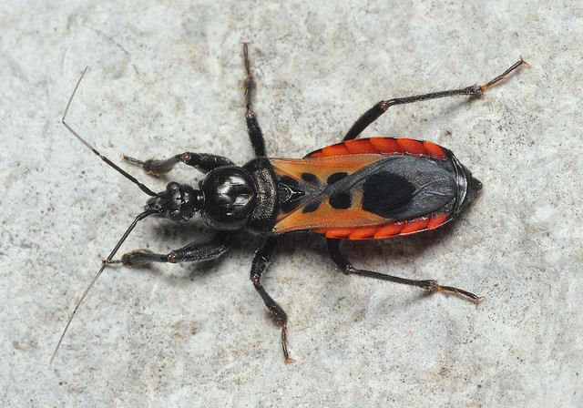 Peirates hybridus - foltos rablópoloska