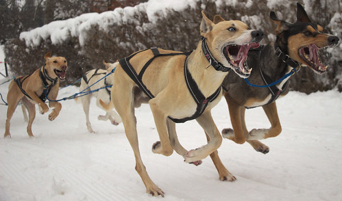 Sled-dog race 2015 in Saignelégier - Switzerland
