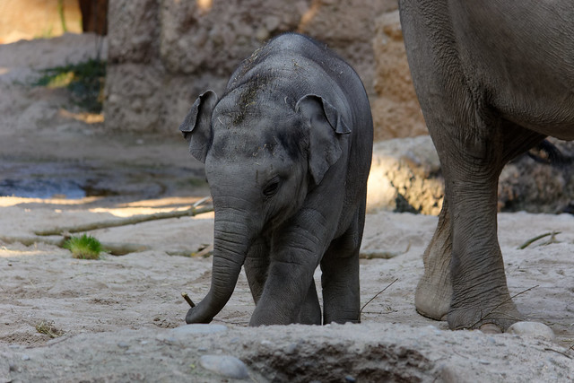 Asian Elephant (Calf), Zurich Zoo