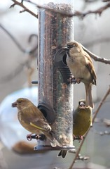 Sparrow and Greenfinches