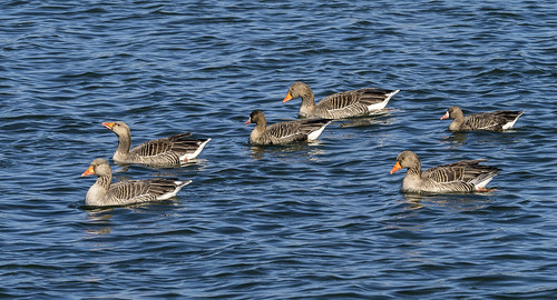 white-fronted geese 448 (31)