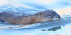 animal, marine mammal, mustelidae, fauna, sea otter, whiskers,