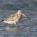 Bar-tailed Godwit -Limosa lapponica