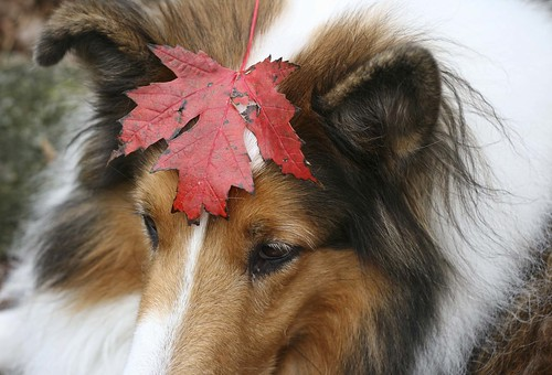 Ben and the Maple Leaf