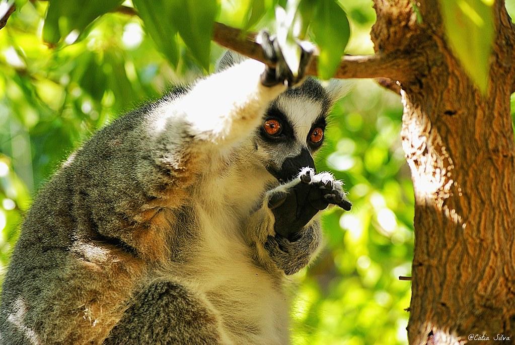 Bioparc Valencia_Madagascar (1.1) Lemur de cola anillada