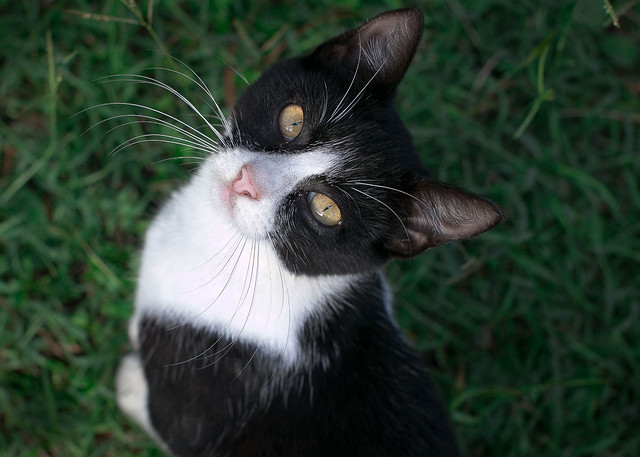 The Black and White Cat in Colour.