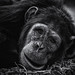 Chimp by Timothy J Parry
