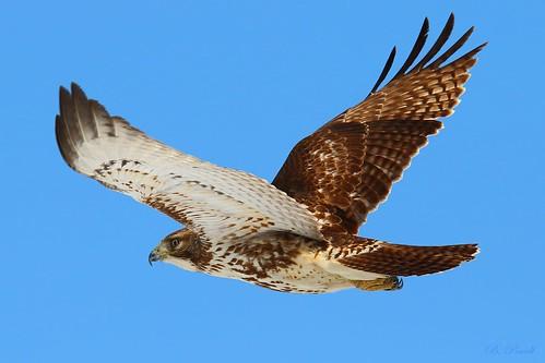 Junenile Red Tail Hawk