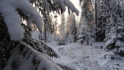 winter forest december talvi metsä joulukuu