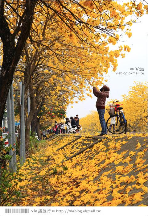 【嘉義景點】嘉義軍輝橋黃金風鈴木~全台最美的堤防!開滿滿的風鈴木美炸了!2