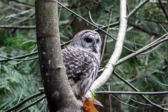 Barred Owl 18