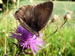 Myrtil - Meadow Brown