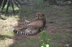 animal, cheetah, small to medium-sized cats, mammal, fauna, safari, wildlife,