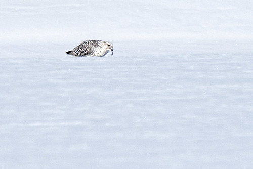 NY: Gyrfalcon at Dinner