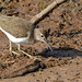 Small photo of Common Sandpiper (Actitis hypoleucos)