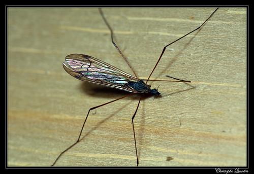 Phylidorea sp.