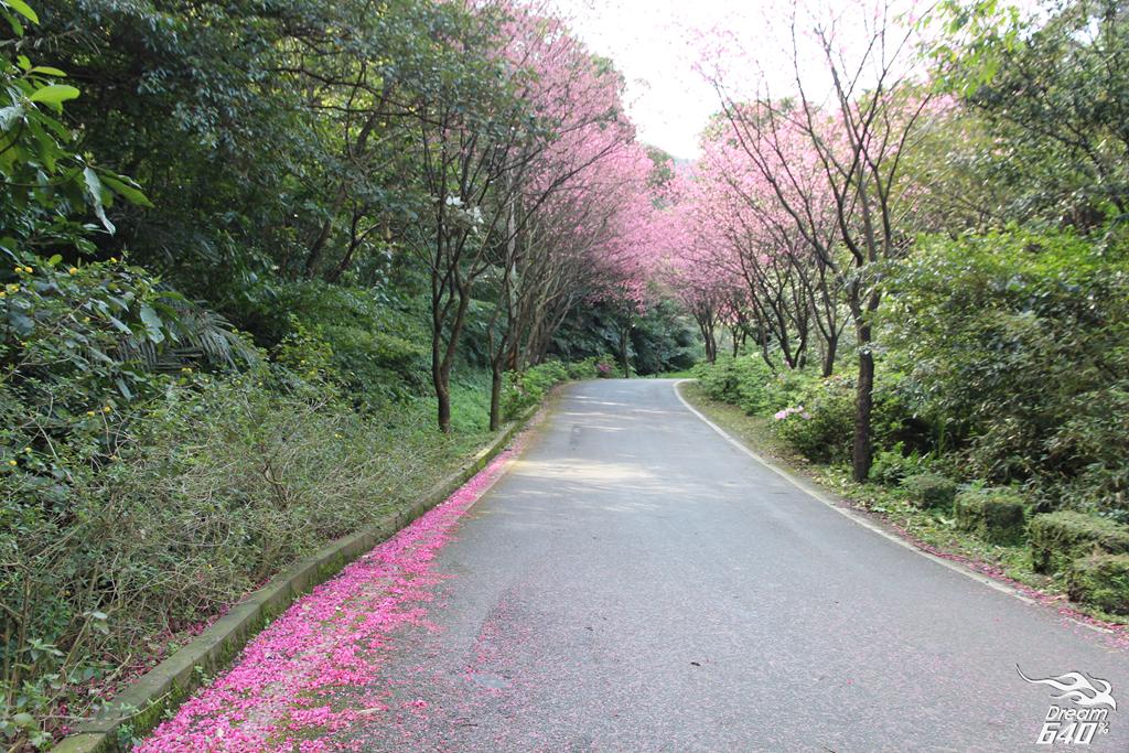 2015三芝青山路賞櫻31
