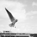 Seagull by Free2rec