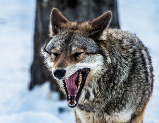 Yawning Coyote