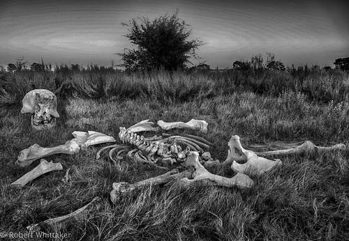 africa blackandwhite bw elephant abstract monochrome canon skeleton northwest wildlife botswana canoneos chobe okavango deadelephant whittaker okavangodelta canonphotography maune robertwhittaker africaoverland blackandwhiteafrica elephantskeleton canonafrica bwafrica africaphotography 5dmkiii okavangobotswana africatourism sazzoo robwhittaker robwhittakerphotography sazzoocom robertwhittakerphotography ©robwhittakerphotography africaoasis botswanamonochrome botswanaphotography blackandwhitebotswana whittaker©robwhittakerphotography botswanaportrait