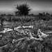 Elephant Skeleton BW by Rob Whittaker Photography